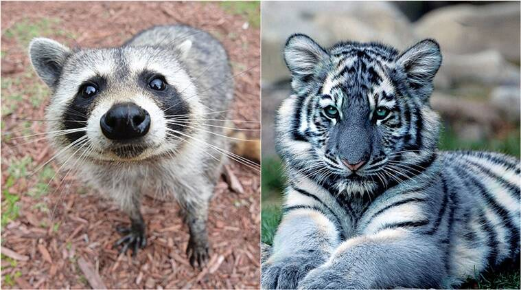 raccoon mistaken for tiger, raccoon tiger, raccoon or tiger? new yorker mistakes raccoon for tiger, Indian Express, Indian Express News