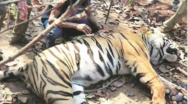 tiger found dead, west bengal tiger, Lalgarh area, bengal tiger found dead, indian express, west bengal news, jhargram, india news