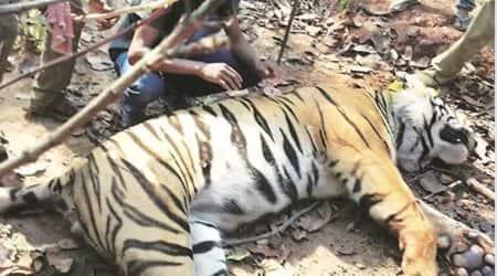 tiger found dead, west bengal tiger, Lalgarh area, bengal tiger found dead, indian express, west bengal news, jhargram, india news