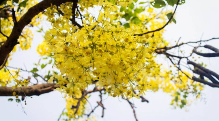 Summer Showers Of Gold Amaltas The State Flower Of