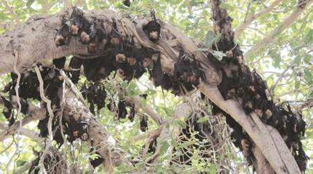 'No chance of Nipah virus spread in Gujarat'