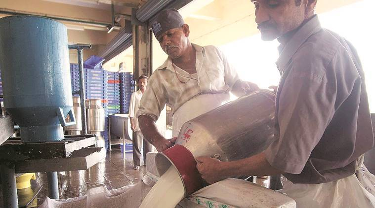 maharashtra, dairy farmer, amul, milk production, jowar, animal husbandry, maize, gokul, pune news, indian express