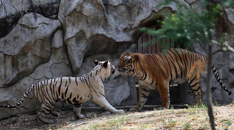 A love story at Delhi Zoo, starring Royal Bengal and a white tiger