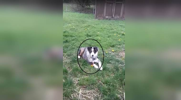 funny animal video, funny dog video, funny dog video in the internet, funny animal video in the internet, dog with scissors in mouth, indian express, indian express news