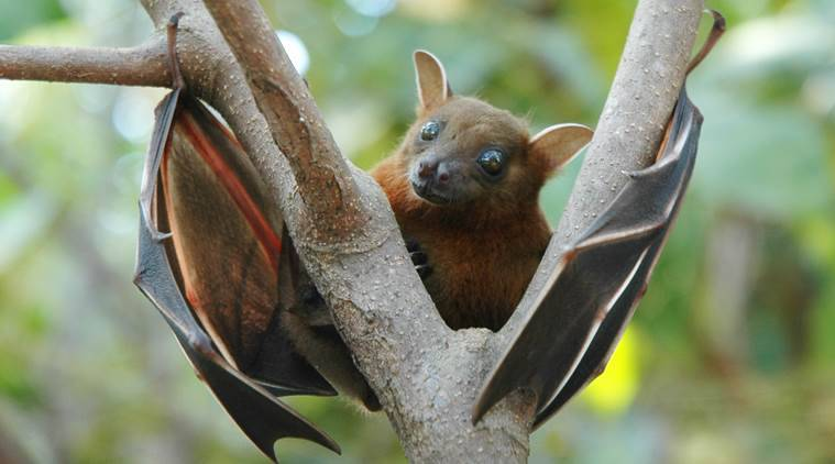 The virus is present in bat urine and potentially, bat faeces, saliva, and birthing fluids. (Source: Wikimedia Commons)