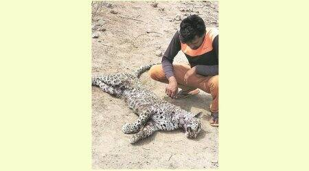 Gurgaon: Leopard killed in fight with another animal
