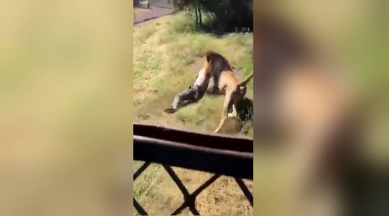 VIDEO: Lion brutally attacks wildlife park owner when he