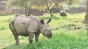 Repopulation effort in Patlakhawa: After 60 years, rhinos to walk grasslands