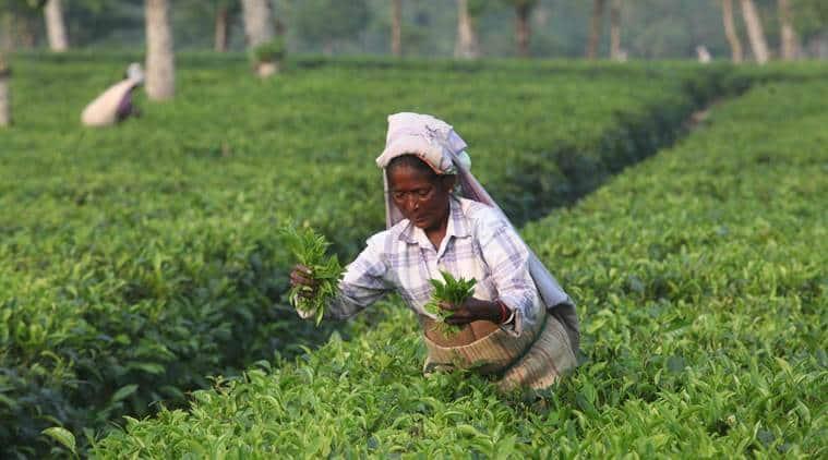 tea garden, north bengal, tea garden workers, siliguri tea garden, minimum wage of tea garden workers, tea garden owners, tea estate owners, indian express