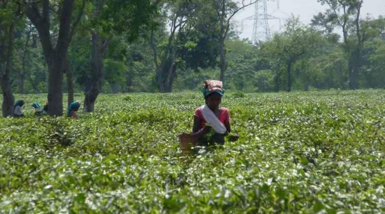 assam tea garden death, world bank, apple tea garden, tata group, PAJHRA, PAD, Adivasi group