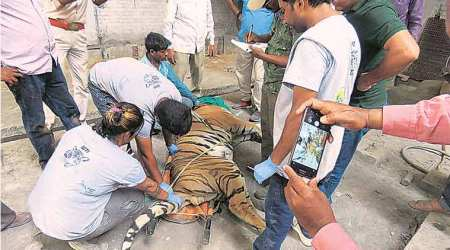 Lost tiger finds its way to an abandoned rubber factory in Bareilly, next home is zoo