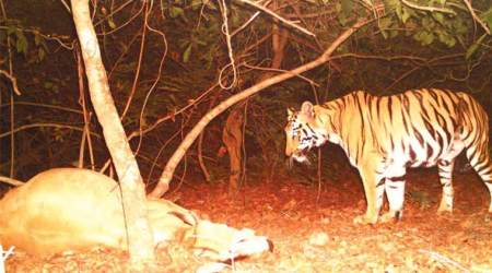 In Chennur, officials try to cage tigress to set it free