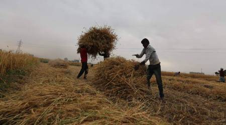 Punjab witnesses highest wheat production in 6 years