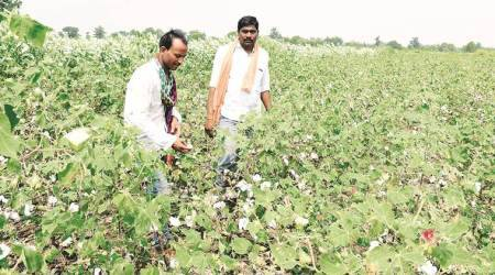 A denied patent stands between farmers and GM cotton