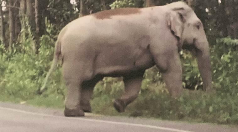 """A file photo of the tusker, which inhabits Goalpara forests, and is named 'Laden' for """"leaving people paralysed in fear""""."""