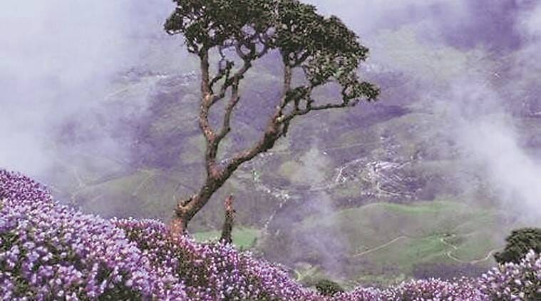 In Munnar next month, a special treat for nature lovers: a blue carpet across the hills