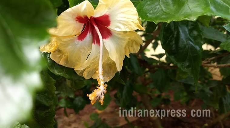 Are Your Hibiscus Leaves Turning Yellow Try These Tricks Lifestyle News The Indian Express