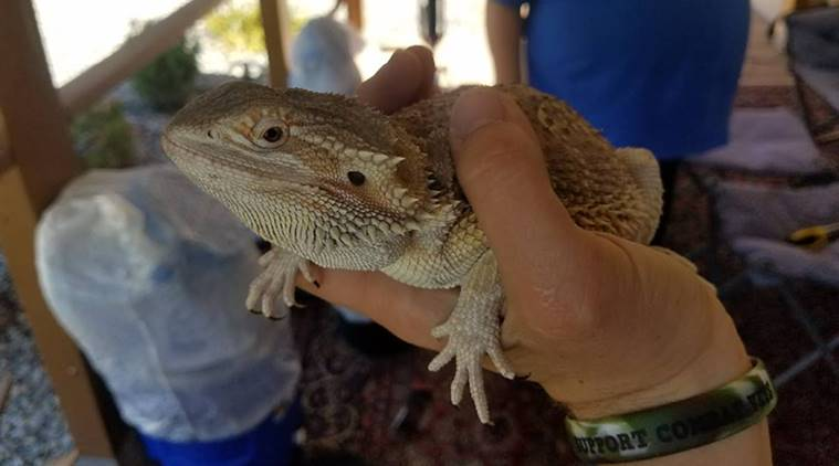 Couple Booked Bicycle For Granddaughter Got A Bearded Dragon Lizard Free Trending News The Indian Express