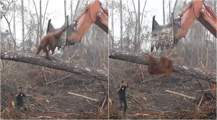 Heartbreaking video shows orangutan fighting off machine destroying its home