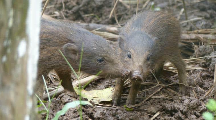 Pygmy Hog, Pygmy Hog Conservation Centre Assam,