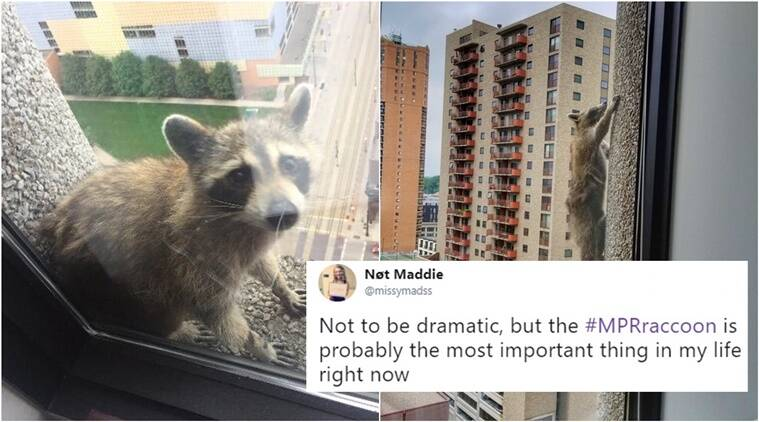 Daredevil raccoon scales skyscraper and becomes viral sensation