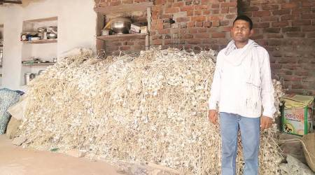 Garlic turns pungent for Rajasthan farmers as prices crash