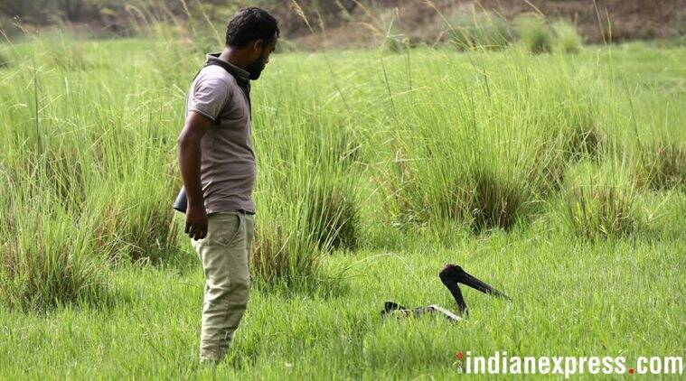 Black necked stork released into wild, two days after rescue