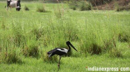 Black-necked stork released into wild, two days after rescue