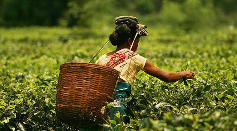 Tripura's tea industry dates back to 1916 and originated at Hiracherra tea estate in present Unakoti district.
