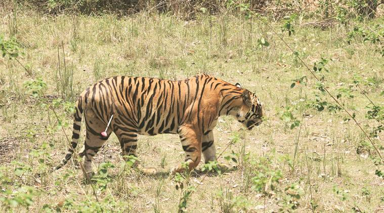 Tiger poaching enquiry report holds Uttarakhand forest officials responsible for laxity