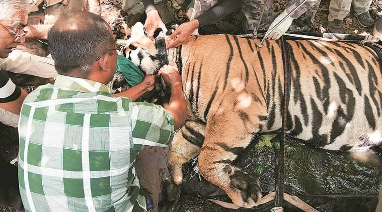 Tiger, Tiger relocation, Odisha tiger, Madhya Pradesh tiger, MB2 tiger, Kanha Tiger Reserve, Madhya Pradesh Tiger Reserve, Satkosia Tiger Reserve, Odisha Tiger Reserve, indian express