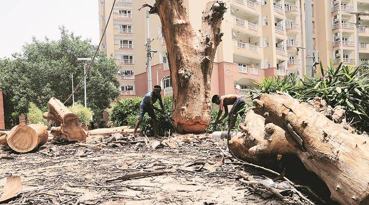 Old age, damaged roots: Why capital's trees are keeling over