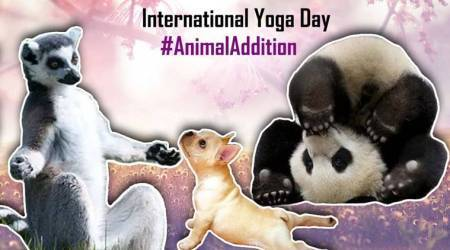 International Yoga Day 2018: Yoga not your cup of tea? These animals doing yoga might change your mind