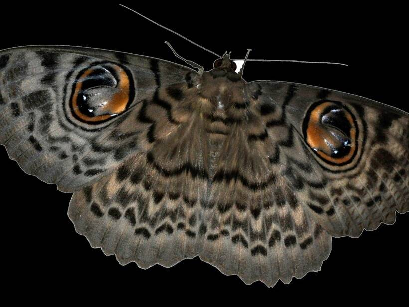 The Owl Moth