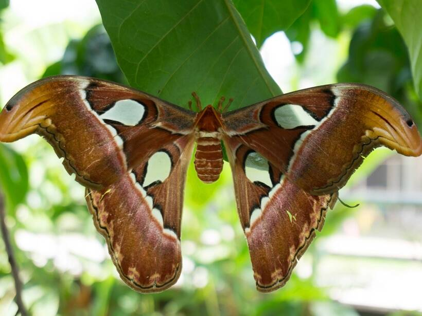 Big butterfly Atlas moth, Attacus atlas, moth facts