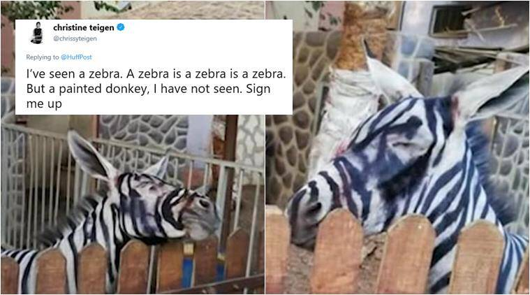 zebra, donkey, donkey painted as zebra, zoo paints donkey, donkey painted zebra egypt, cairo zoo painted donkey, bizarre news, odd news, funny news, weird news, indian express