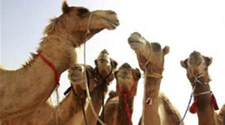 Maharashtra: Activists want govt to allow camel slaughter on Bakr Eid