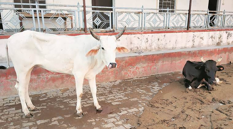 Indore: Cow vigilantes thrash two for allegedly transporting beef