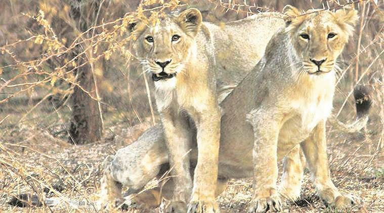 Lions in Gir safe as they seek refuge from rain on hillocks, say forest officers