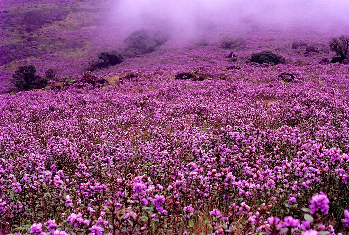 Best places in Munnar to visit to watch Neelakurinji flowers bloom after 12  years | Lifestyle News,The Indian Express