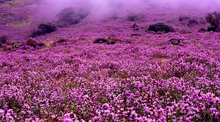 after 12 years neelakurinji flowers will turn the lush hills of