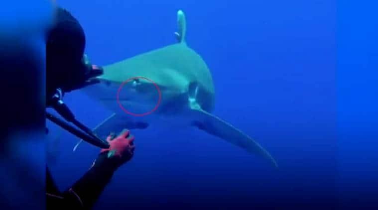 diver saves shark, diver shark video, diver saves shark with hook, diver shark video, diver shark viral video,