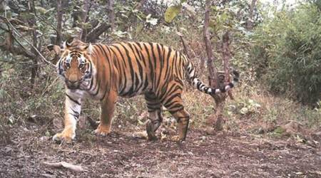 Odisha: Locals in Satkosia allege newly shifted tigress killed woman, thrash forest officials