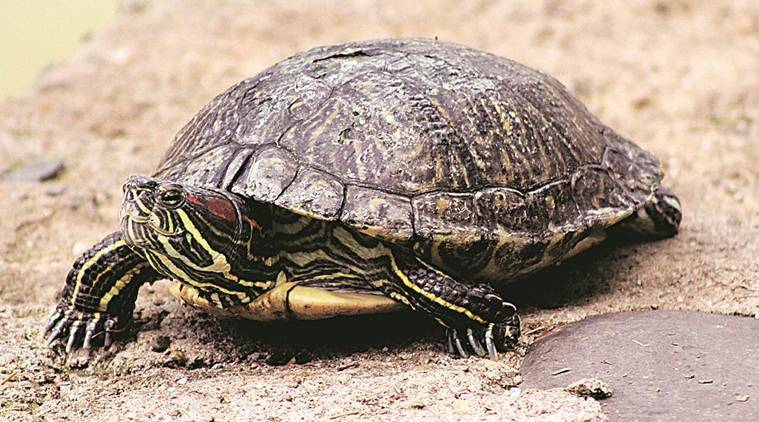 Bihar: Inter-state gang of poachers busted, 260 turtles seized
