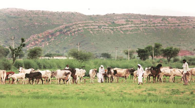 The 'free' pastures near Rakbar's village. (Express photo/Gajendra Yadav)
