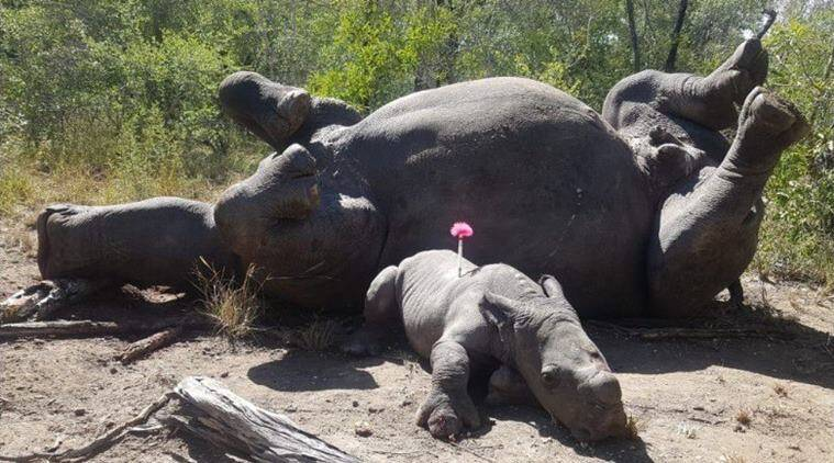 This photo of an injured baby rhino next to mother killed by poachers has left people heartbroken
