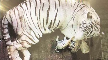Bengal tigress has Independence Day gift for Delhi Zoo: Two healthycubs