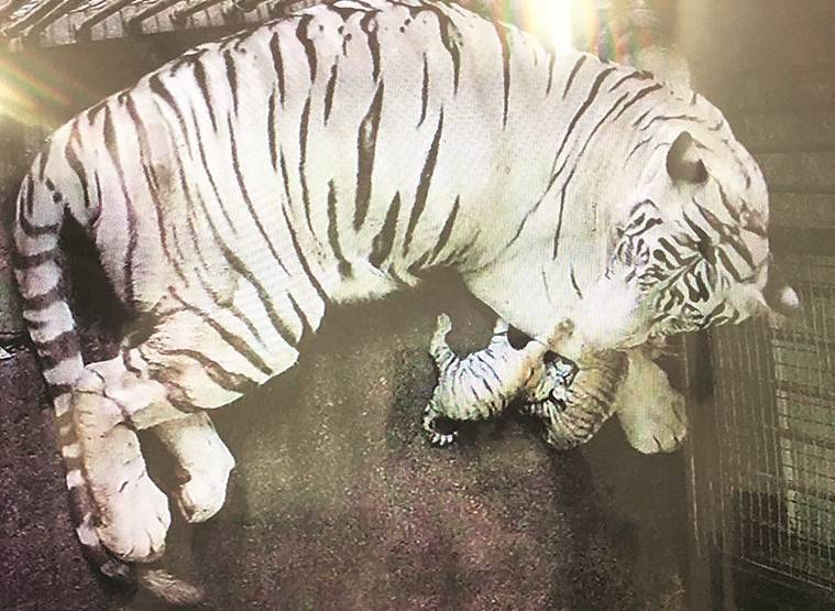 Bengal tigress has Independence Day gift for Delhi Zoo: Two healthy cubs
