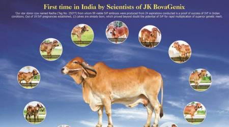 Pune: In one year, 13 calves born from a single cow via IVF technology