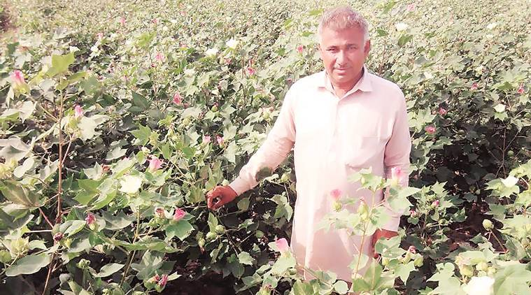 cotton growth, whitefly pest, cotton belt, cotton harvest, punjab agriculture, Punjab cotton farmers, cotton production, indian express